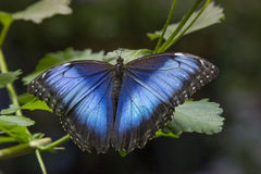共同的蓝色Morpho蝴蝶翼  免版税库存照片