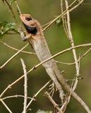 共同的蜥蜴 免版税库存照片
