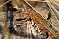 共同的蜥蜴(Zoothoca viviparia) 免版税库存图片