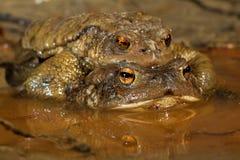 共同的蟾蜍夫妇在早期的春天在繁殖的季节期间 库存图片
