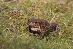 共同的蟾蜍,bufo bufo成人在春天英国 图库摄影