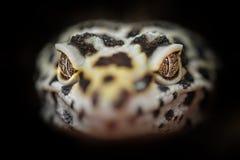 共同的豹子壁虎头  特写镜头龙头 库存照片