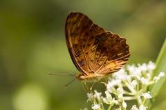 共同的豹子蝴蝶- Phalanta phalantha 图库摄影
