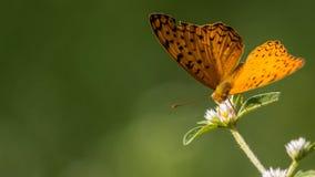 共同的豹子蝴蝶 免版税图库摄影