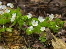共同的酢浆草, Oxalis acetosella,与defocused的叶子的花宏指令,选择聚焦,浅DOF 库存照片