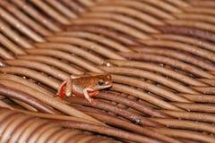 共同的里德青蛙,伪装 免版税图库摄影