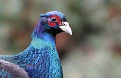 共同的野鸡(雉属colchicus)男性画象  免版税库存照片