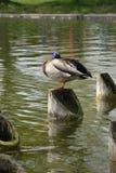 共同的野鸭-语录platyrhynchos 库存图片