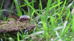 共同的金龟子,Melolontha melolontha 正面图关闭 股票视频