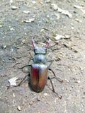 共同的锹虫& x28; Lucanus cervus& x29; 库存图片