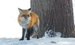 共同的镍耐热铜狐狸狐狸在冬天` s天寻找食物 逃避害羞的动物从森林出来 库存图片