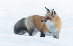 共同的镍耐热铜狐狸狐狸在冬天` s天寻找食物 逃避害羞的动物从森林出来 库存照片