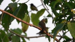 共同的长尾缝叶鸟Orthotomus sutorius坐树枝 股票录像