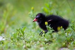 共同的雌红松鸡 库存照片