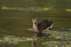 共同的雌红松鸡Galinulla chloropus 库存图片