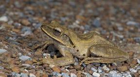共同的雨蛙,金黄雨蛙多聚鸟足状的leucomystax,美丽的青蛙,在沙子的青蛙 库存照片