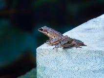 共同的雨蛙 免版税库存照片