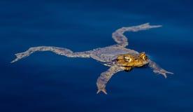 共同的青蛙在池塘游泳 免版税图库摄影