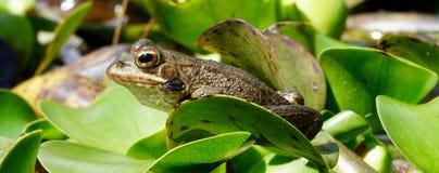 共同的青蛙在湖 免版税库存照片