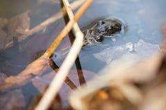 共同的青蛙,蛙属temporaria联接 免版税库存照片