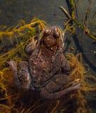 共同的青蛙,蛙属temporaria,从上面被看见的青蛙后侧方,坐在一个庭院池塘在春天, 4月 挪威 库存图片