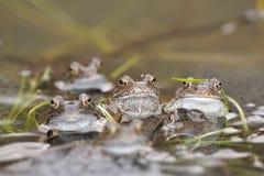 共同的青蛙(蛙属temporaria) 图库摄影