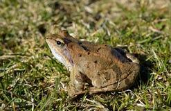 共同的青蛙(蛙属temporaria) 免版税库存图片