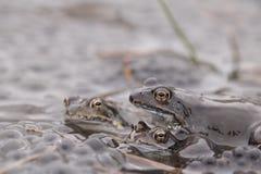 共同的青蛙(蛙属temporaria) 库存图片