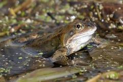 共同的青蛙 免版税库存照片
