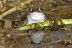 共同的青蛙 库存照片