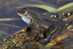 共同的青蛙 图库摄影
