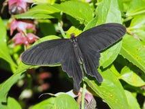 共同的风车蝴蝶休息开放翼 免版税库存照片