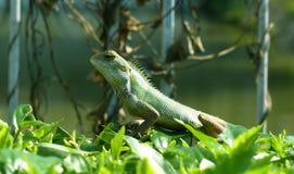 共同的鬣鳞蜥 免版税图库摄影