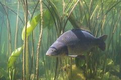 共同的鲤鱼鲤属卡皮奥 库存图片