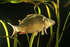 共同的鲤鱼,鲤属卡皮奥淡水鱼 免版税库存图片