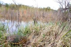 共同的鳄龟和池塘 免版税库存照片
