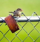 共同的鸟被栖息在一个生锈的锡罐鸟饲养者 免版税库存照片