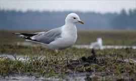 共同的鸥在潮湿地面上在雨中走 库存照片
