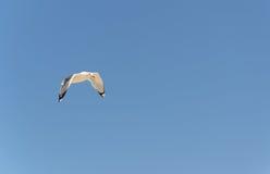 共同的鸥飞行在几乎清楚蓝天下 免版税图库摄影