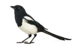 共同的鹊的侧视图, 12点活字12点活字,被隔绝 免版税库存图片