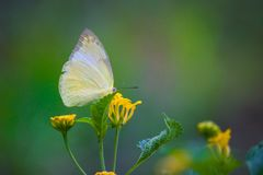 共同的黄色草蝴蝶坐花植物 免版税图库摄影