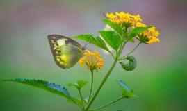 共同的黄色草蝴蝶 免版税库存图片