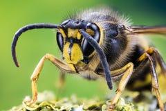 共同的黄蜂,黄蜂 库存图片