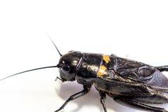 共同的黑蟋蟀在白色背景的被隔绝的昆虫 免版税库存图片