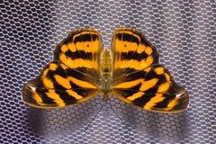 共同的巴夏蝴蝶 免版税库存照片