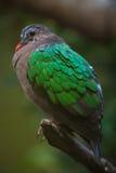 共同的绿宝石鸠& x28; Chalcophaps indica& x29; 库存图片