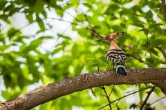 共同的戴胜, Upupa epops,鸟,在树枝栖息 库存照片