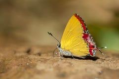 共同的紫色在地面上的青玉蝴蝶哺养的食物本质上,泰国 免版税库存照片