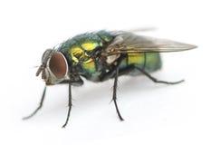 共同的绿色瓶飞行, Phaenicia sericata,被隔绝 免版税图库摄影