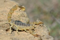共同的黄色蝎子(Buthus occitanus)在防御姿势在阿塞拜疆 免版税库存照片